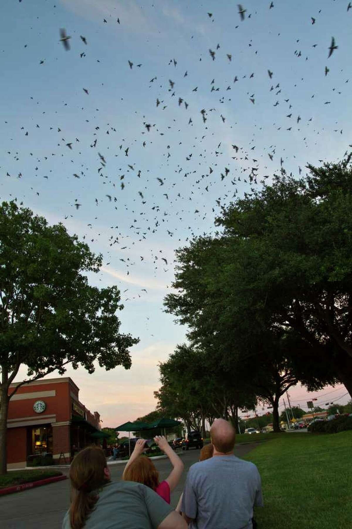 Thousands of purple martins come in to roost in oak trees on their annual migration to South America across from Willowbrook Mall. Steve and Jane Stone and the family watch the birds. Photo Credit: Kathy Adams Clark. Restricted use.