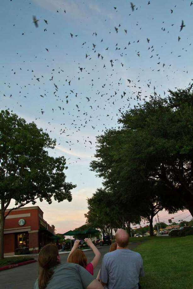 Thousands of purple martins come in to roost in oak trees on their annual migration to South America across from Willowbrook Mall.  Steve and Jane Stone and the family watch the birds. Photo Credit:  Kathy Adams Clark.  Restricted use. Photo: Kathy Adams Clark / Kathy Adams Clark/KAC Productions