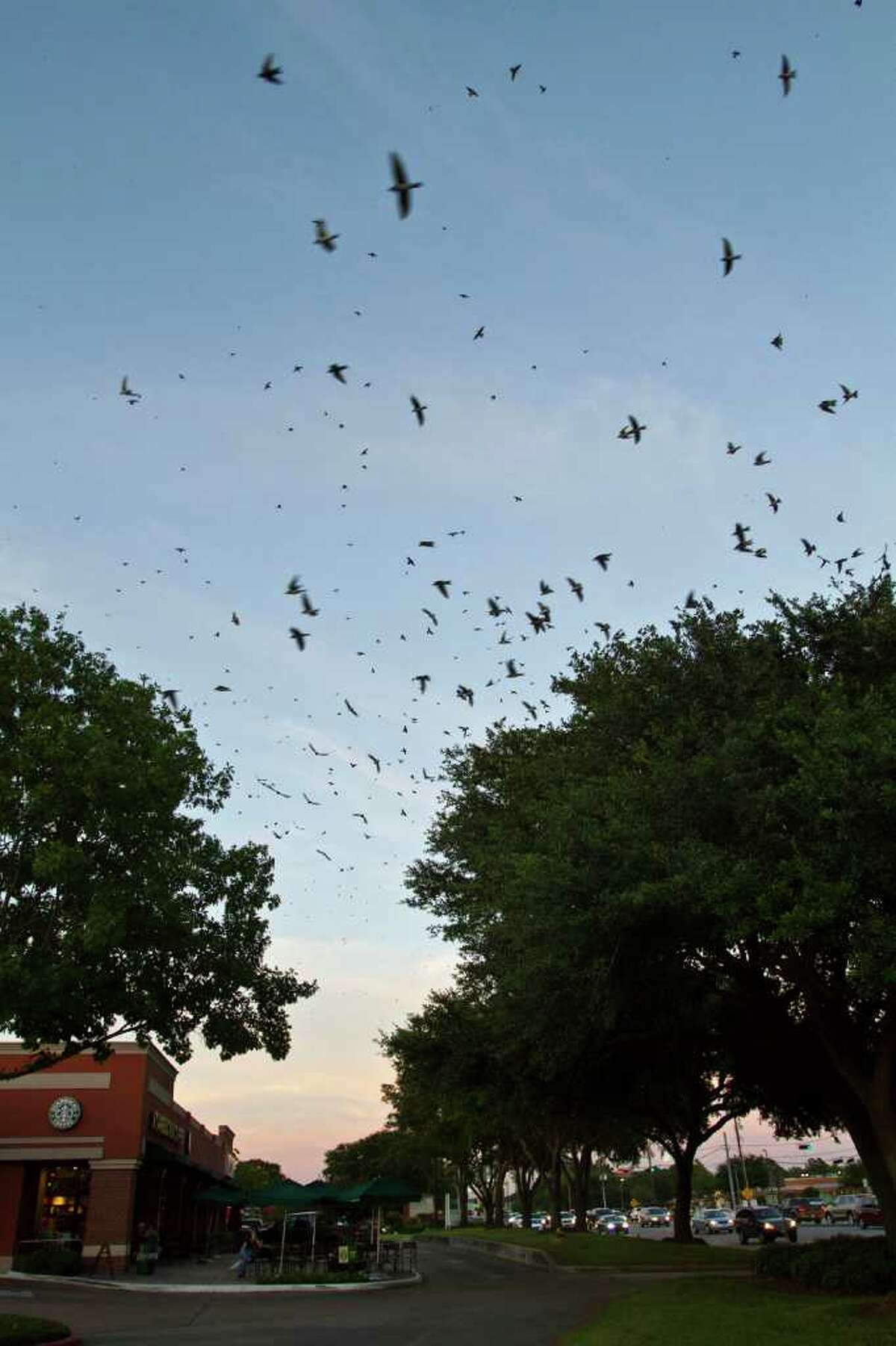 Purple martins gather in a communal roost across from Willowbrook Mall in north Houston. The birds gather in large flocks in preparation for their journey through Texas to their winter home in South America. Photo Credit: Kathy Adams Clark Restricted use.