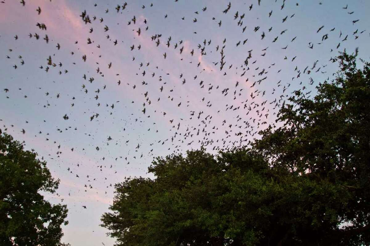 Thousands of purple martins come in to roost in oak trees on their annual migration to South America near Willowbrook Mall in north Houston. Photo Credit: Kathy Adams Clark Restricted use.