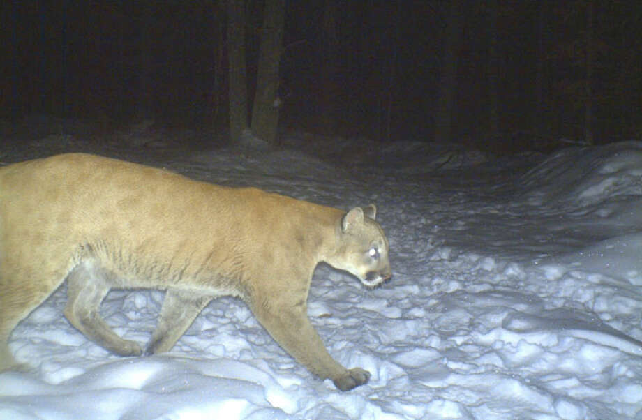 New York state environmental officials have confirmed the wild cougar that trekked 1,500 miles from South Dakota to Connecticut passed through the upstate New York town of Lake George in 2010. The photograph above was captured Jan. 18, 2010 on a trail camera in Clark County, Wisc. Photo: Contributed Photo