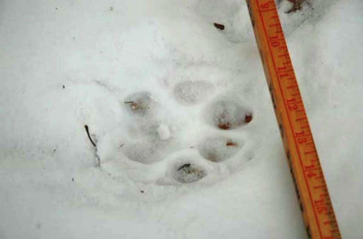 Cougar track found off Truesdale Hill Rd. in Lake George N.Y., Dec. 16, 2010. (Courtesy NYS DEC)