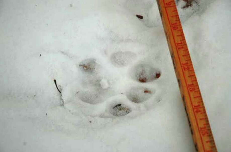 Cougar track found off Truesdale Hill Rd. in Lake George N.Y., Dec. 16, 2010. (Courtesy NYS DEC)