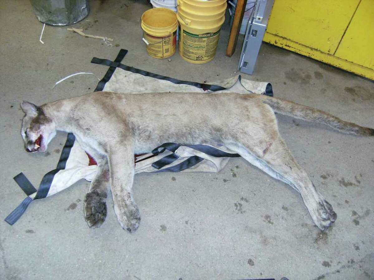 This photo from the Connecticut Department of Energy and Environmental Protection shows the mountain lion after it was killed in a collision with a car June 11, 2011 on Route 15 in Milford Conn. (Courtesy Connecticut Department of Energy and Environmental Protection)