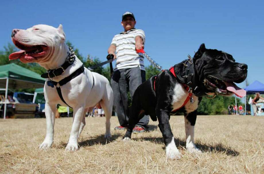 Reynaldo Santiago holds his American Pit Bull Bullys Bolo at left and Diablo at right, at the Pit Bulls on Parade 2011 event in Issaquah, Saturday, Aug. 20, 2011. Photo: JOE DYER / SEATTLEPI.COM