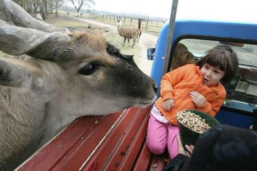 Millie Paravina, 4, is frightened and excited about feeding Eland's and llamas during their tour of the Bayou Wildlife Park where exotic animal roam free on 46 acres and cold weather is not keeping visitors away on Sunday, Jan. 27, 2008 in Dickinson, TX. Visitors enjoy a safari tour of land viewing animals like zebras, deer, Texas Longhorns, etc.   Photo by Mayra Beltran / Chronicle Photo: Mayra Beltran, Staff / Houston Chronicle