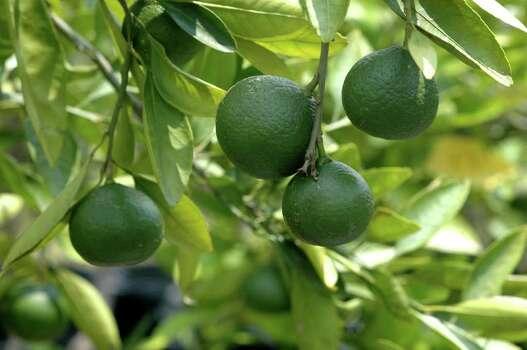 Fresh satsuma is one of the fruits growing at the Matt Family orchard. Photo: Brad Perkins, Freelance / Freelance