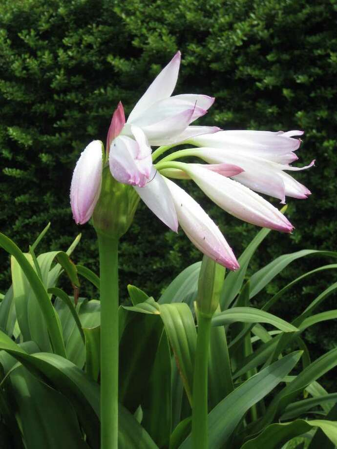 Despite record heat and drought, the fragrant crinum 'Mrs. James Hendry' bloomed in landscape horticulturist and author Bill Welch's garden. Photo: William C. Welch