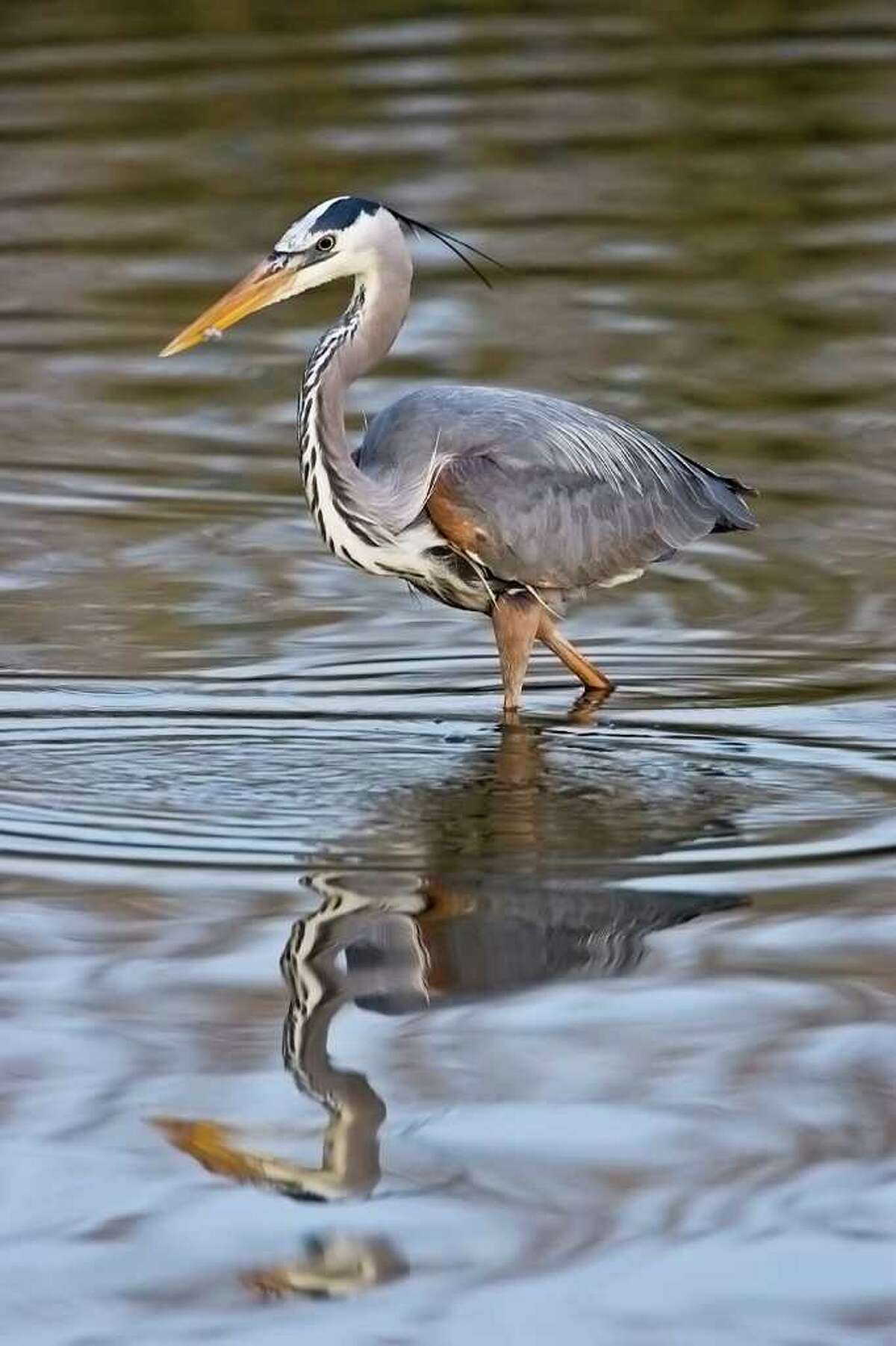 The Anahuac National Wildlife Refuge is a great place to see resident birds, like this great blue heron, as well as migratory birds. Photo Credit: Kathy Adams Clark. Restricted use.