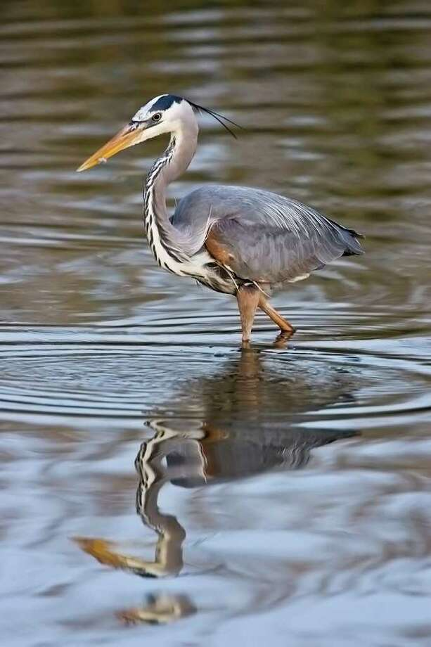 The Anahuac National Wildlife Refuge is a great place to see resident birds, like this great blue heron, as well as migratory birds.  Photo Credit:  Kathy Adams Clark.  Restricted use. Photo: Kathy Adams Clark / KAC Productions