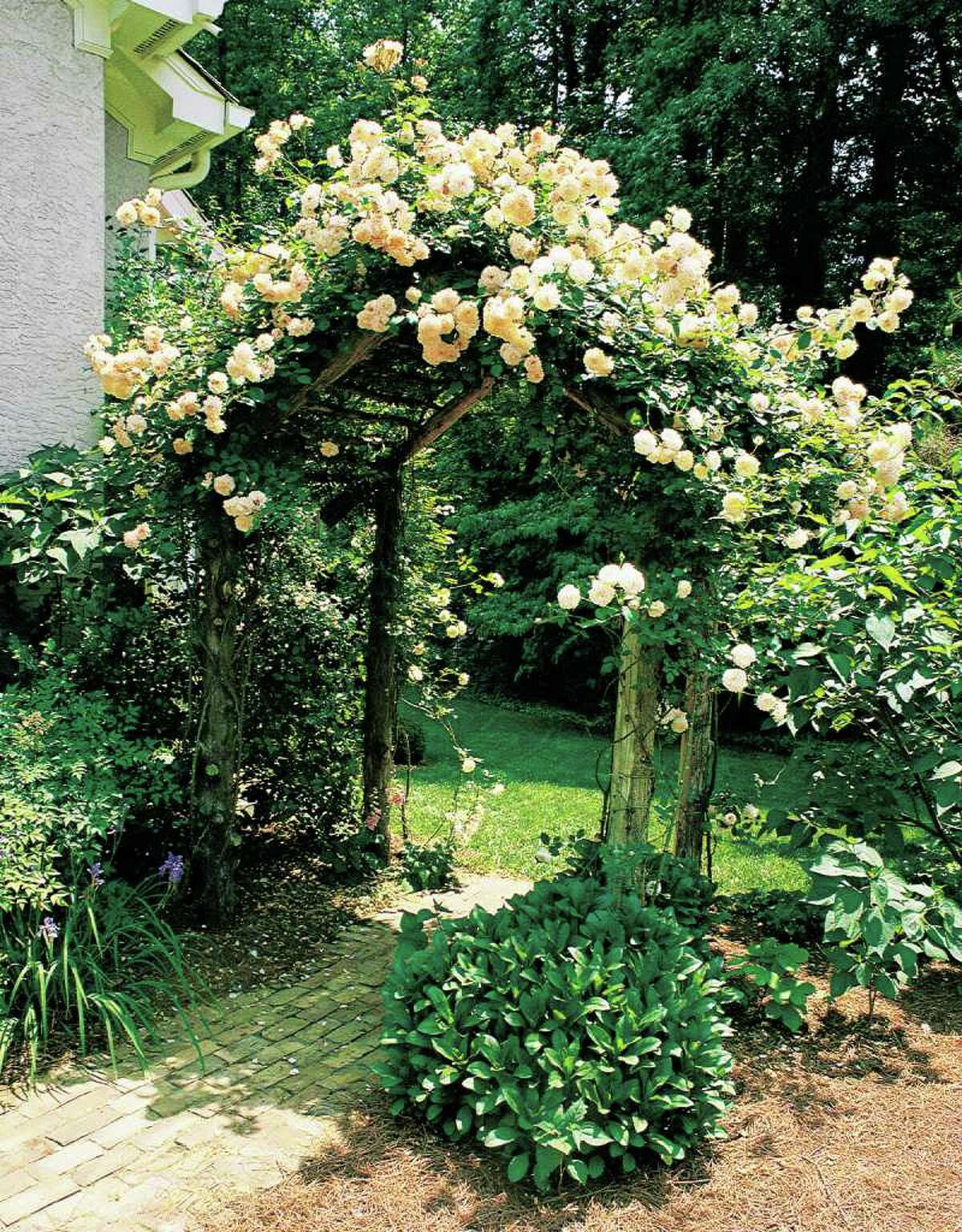 GARDEN UP: Arbors were among the first forms of vertical gardening. This modern-day structure supports a 'Buff Beauty' climbing rose.