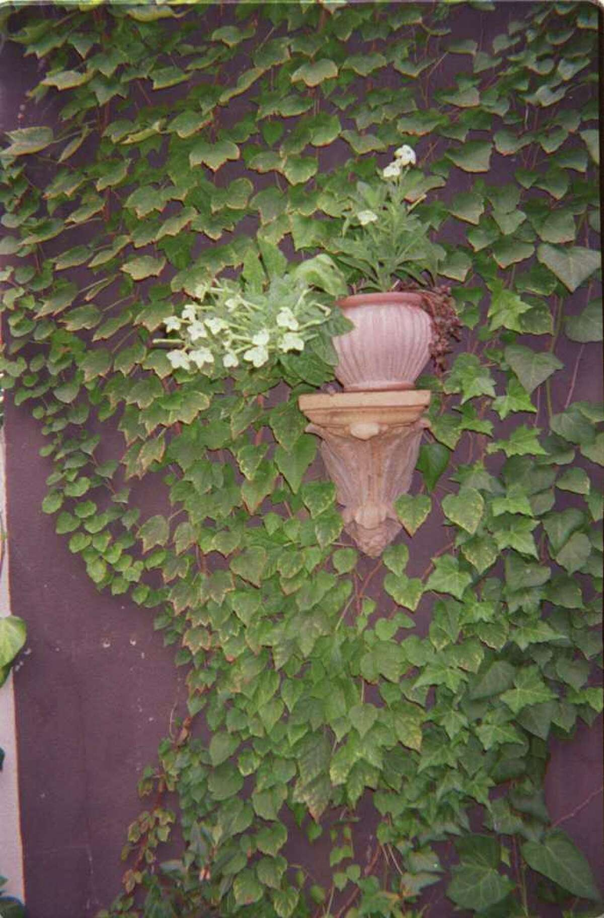 WALL PLANTING: When the only way is up, plant vines such as ivy to soften the walls of a small urban garden.
