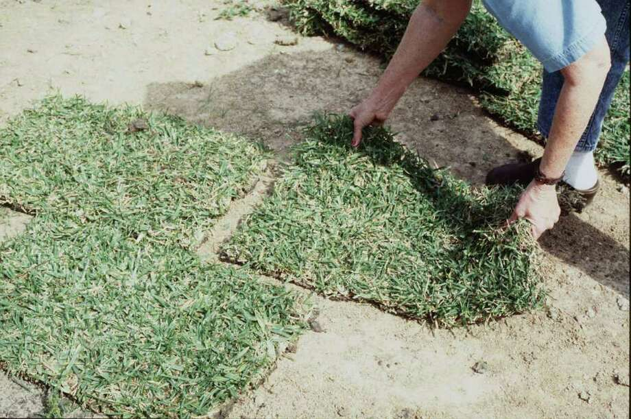 laying grass sod.    HOUCHRON CAPTION (04/18/1998):  Sandra Matejich of Thomas Bros. Grass demonstrates the correct way to lay sod, in this case 'Palmetto,' a new variety of St. Augustine. Photo: BRENDA BEUST SMITH / BRENDA BEUST SMITH