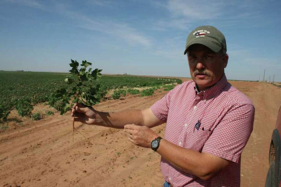 Ropesville cotton farmer Dahlen Hancock shows the results from one of his semi-irrigated fields. The roots, which are supposed to go deep into the ground, are thin and spindly. Few of the plants in this field will be harvested. (Photos by Loren Steffy/Chronicle) Photo: Loren Steffy