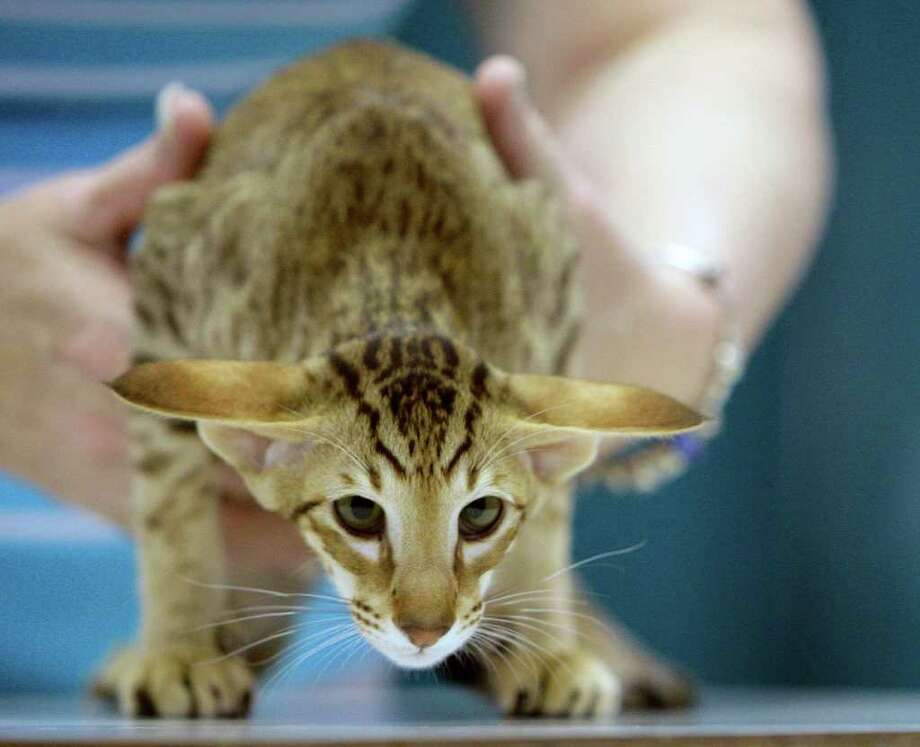 An Oriental Shorthair is handled during judging. Photo: James Nielsen, Houston Chronicle / © Houston Chronicle