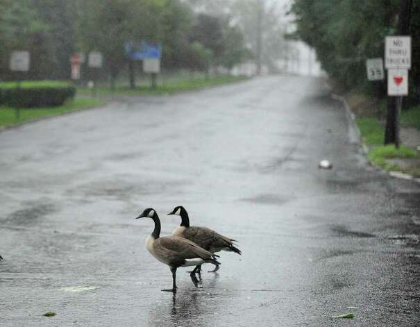 A pair of Canada gooses cross a deserted West Putnam Avenue in Byram  during Hurricane Irene, Sunday morning, Aug. 28, 2011. Photo: Bob Luckey / Greenwich Time