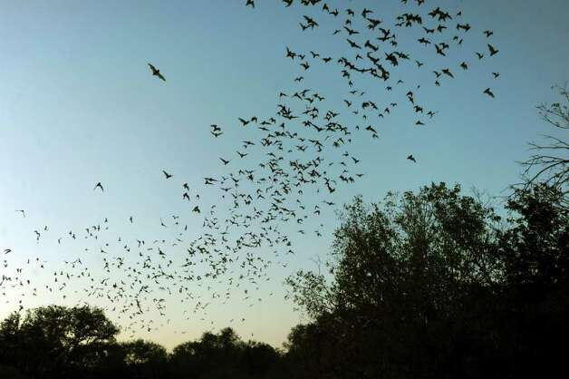 Mexican free-tailed bats fly into the night after emerging from the  Bracken Bat Cave on Friday, Aug. 26, 2011. Bat Conservation International, which owns the cave and 697 acres around it, estimates that there are 20 million bats in this colony. Photo: BILLY CALZADA, BILLY CALZADA / Gcalzada@express-news.net / gcalzada@express-news.net