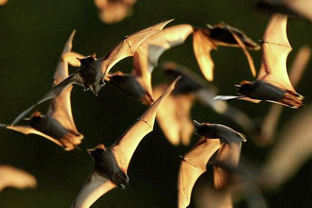 Mexican free-tailed bats, their wings translucent in the evening sky, emerge from the Bracken Bat Cave in Central Texas on Friday, Aug. 26, 2011. Bat Conservation International, which owns the cave and 697 acres around it, estimates that there are 20 million bats in this colony. Photo: BILLY CALZADA, BILLY CALZADA / Gcalzada@express-news.net / gcalzada@express-news.net