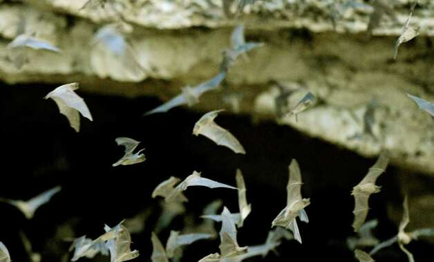 Mexican free-tailed bats emerge from the Bracken Bat Cave in Central Texas on Friday, Aug. 26, 2011. Bat Conservation International, which owns the cave and 697 acres around it, estimates that there are 20 million bats in this colony. The bats often leave the cave early because the insects that they feed on are scarcer than usual because of the Texas drought. Photo: BILLY CALZADA, BILLY CALZADA / Gcalzada@express-news.net / gcalzada@express-news.net