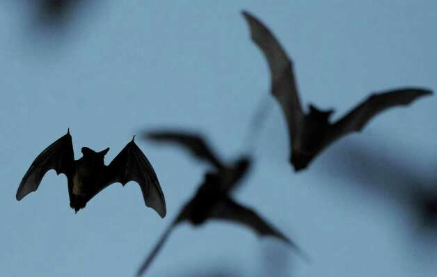 Mexican free-tailed bats fly into the night from the Bracken Bat Cave in Central Texas on Friday, Aug. 26, 2011. Bat Conservation International, which owns the cave and 697 acres around it, estimates that there are 20 million bats in this colony. Photo: BILLY CALZADA, BILLY CALZADA / Gcalzada@express-news.net / gcalzada@express-news.net