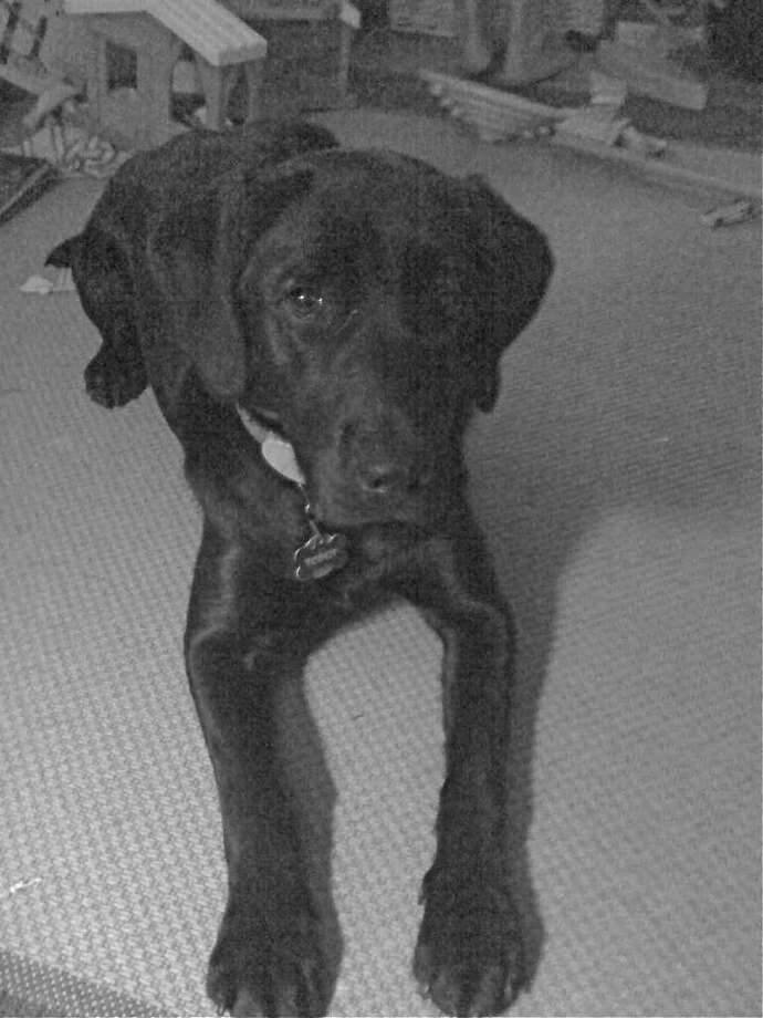 Scout, a female black labrador, has been missing since Sunday evening when she wandered off from the Noroton Fire Department. Photo: Contributed Photo