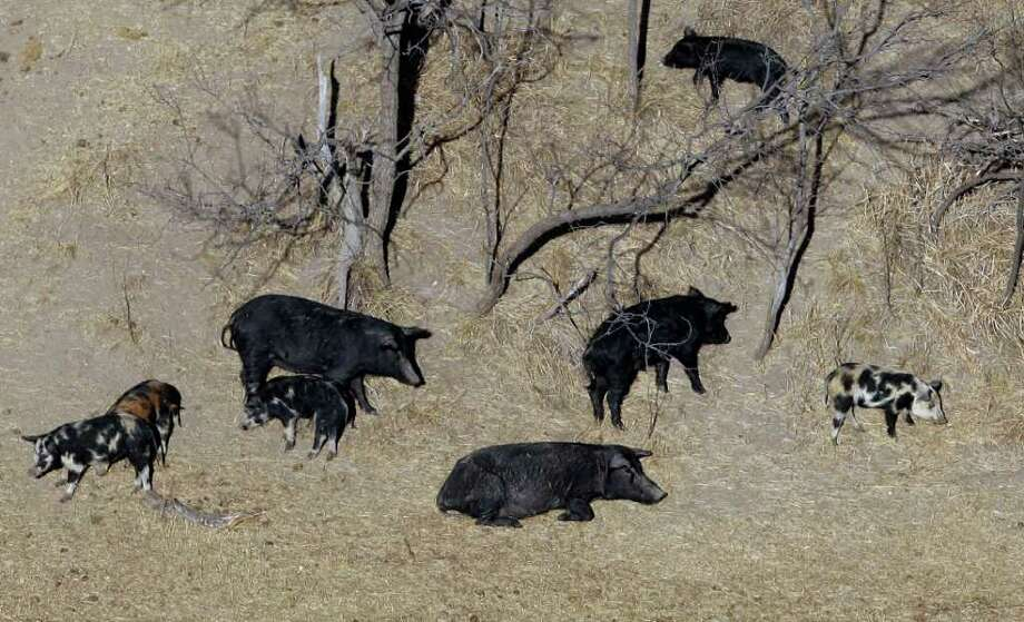 Feral pigshave become such a problem that Texas adopted a law allowing hunters to shoot from helicopters. Photo: Eric Gay, Associated Press / AP2009