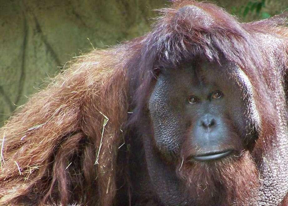 Caption: Houston Zoo Orangutan: Doc Credit: Tammy Buhrmester Photo: Tammy Buhrmester / handout