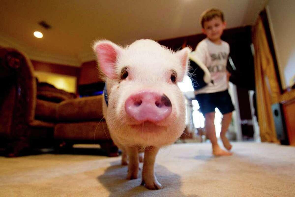 Michael Sardo, 5, runs next to his Vietnamese potbelly pig named Wilber.