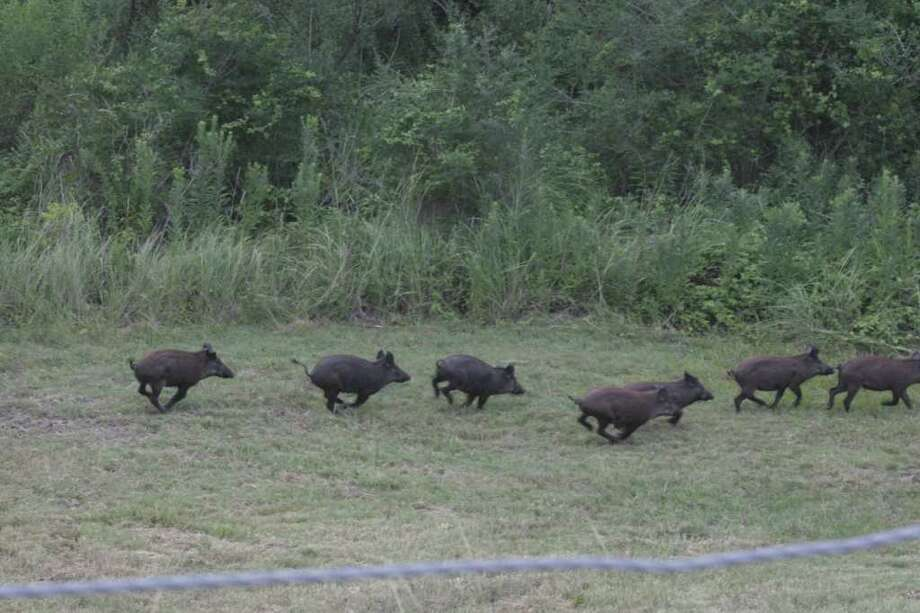 Cutline for photos 0001 and 0003 (horizontals of feral hogs) PROBLEM PIGS - Texas' 2 million or so feral hogs cause tens of millions of dollars in damage to agriculture, compete with native wild life along with wrecking havoc on deer feeders, food plots and otherwise spoiling hunters' efforts. / Shannon Tompkins