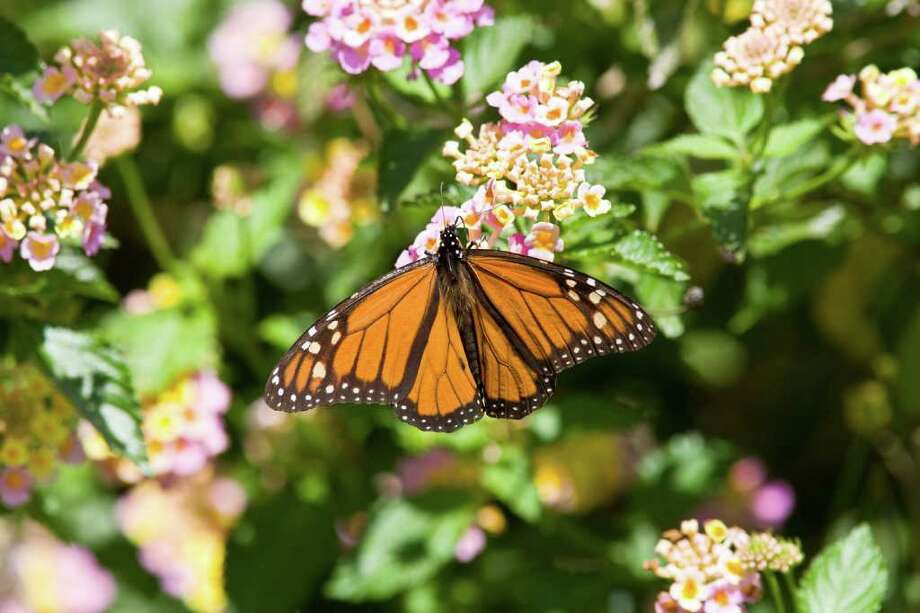 A stand of  drought tolerate blooms, like this calico lantana, can help hourish the monarch butterflies that will be migrating through this fall. Photo: Kathy Adams Clark / Kathy Adams Clark/KAC Productions,