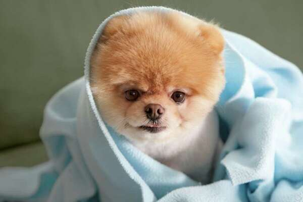 "Boo, the cute Pomeranian with more than 1.4 million Facebook fans, gets his own book 'Boo: The Life of the Cutest Dog' by J.H. Lee with photography by Gretchen LeMaistre (Chronicle Books). In this photo, Boo nestles into a ""blanket burrito."""