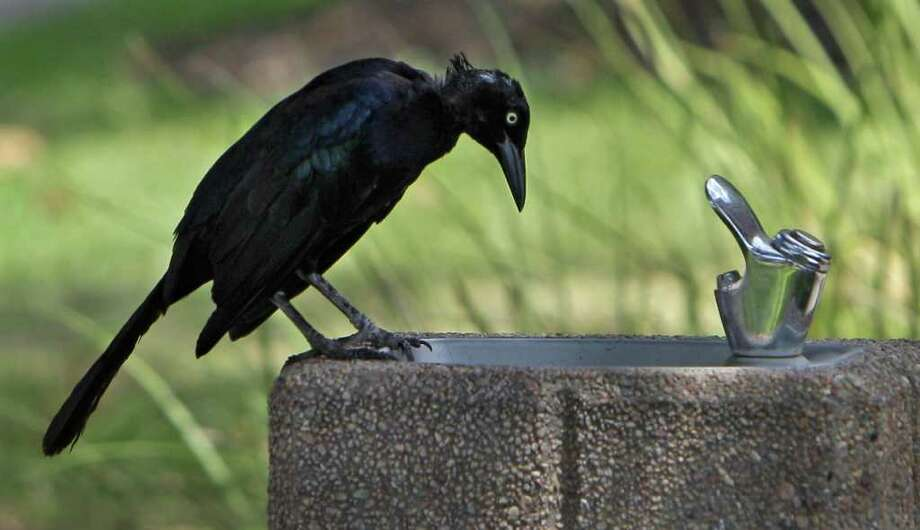 The agency killed 84,671 grackles in the the 2013 budget year. Photo: Melissa Phillip, Houston Chronicle / © 2011 Houston Chronicle
