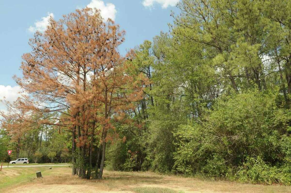 Pine trees at the intersection of the Woodlands Parkway and Gosling Road appear to be stressed.