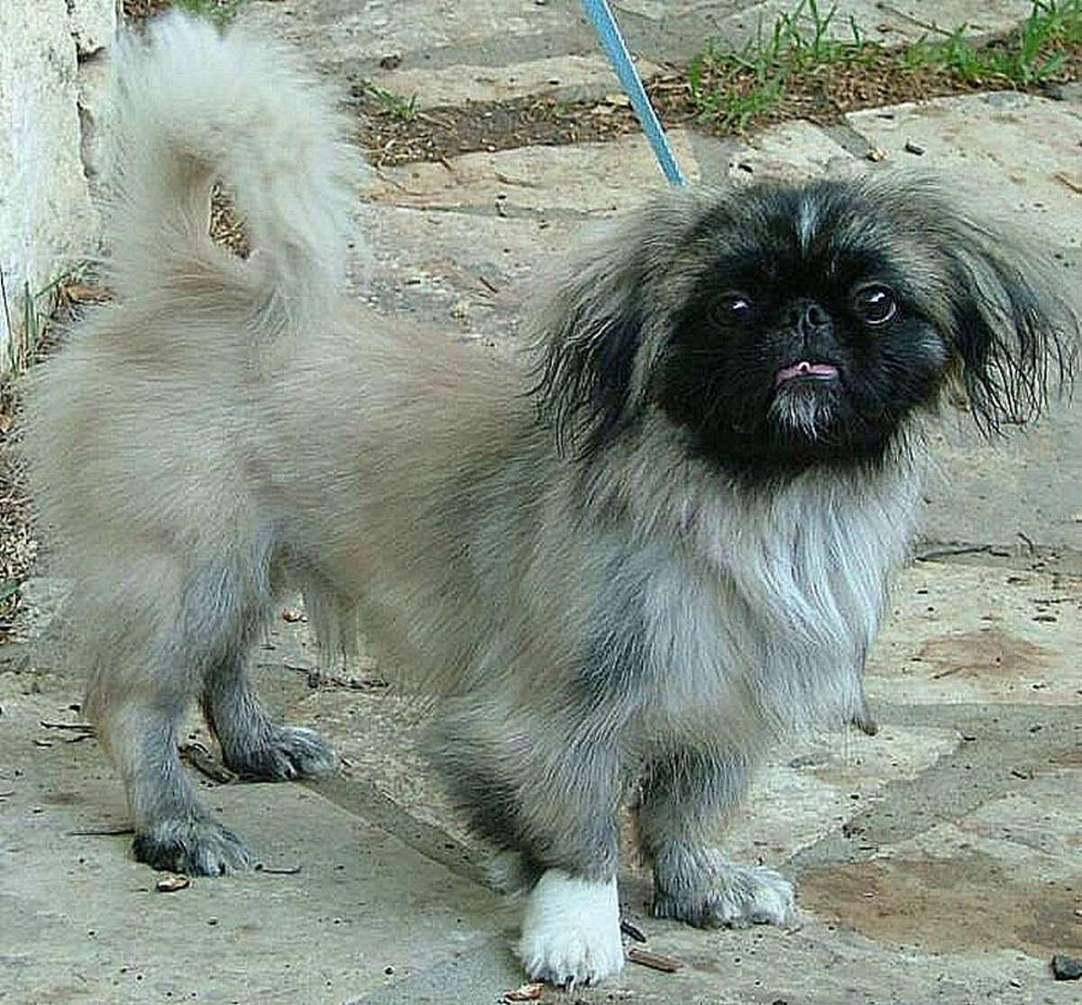 Peluchi is up for adoption. PHOTO COURTESY SNIPSA