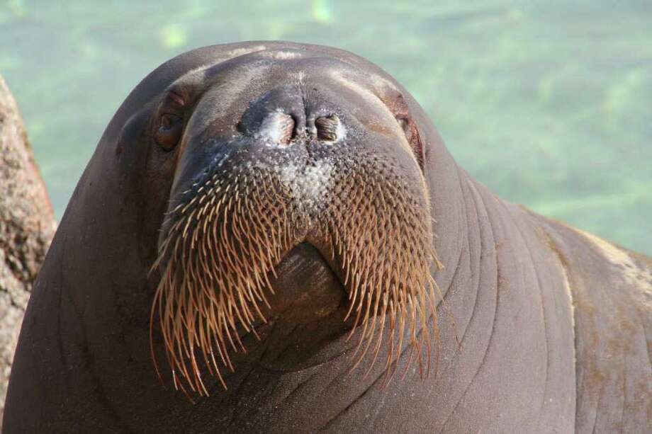 The U.S. Fish & Wildlife Service is evaluating 757 imperiled plant and animal species to determine if they should be added to the federal Endangered Species List by 2018. Among the wildlife getting a closer look is the walrus, pictured here. Photo courtesy of iStock. Photo: Contributed Photo