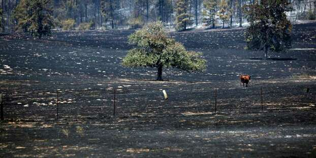 A solitary cow makes its way Wednesday Sept. 7, 2011 through a fire-charred field east of Bastrop in the aftermath of the Bastrop County Complex wildfire that charred more than 33,000 acres.   (William Luther/wluther@express-news.net) Photo: WILLIAM LUTHER, SAN ANTONIO EXPRESS-NEWS / 2011 SAN ANTONIO EXPRESS-NEWS