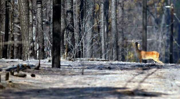 A whitetail deer makes its way Wednesday Sept. 7, 2011 through the charred remains of the Bastrop County Complex wildfire that burned more than 33,000 acres.   (William Luther/wluther@express-news.net) Photo: WILLIAM LUTHER, SAN ANTONIO EXPRESS-NEWS / 2011 SAN ANTONIO EXPRESS-NEWS
