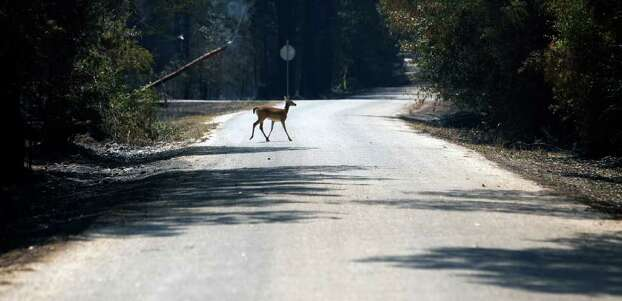 A whitetail deer crosses a road Wednesday Sept. 7, 2011 in the aftermath of the Bastrop County Complex wildfire that charred more than 33,000 acres. Photo: WILLIAM LUTHER, William Luther/wluther@express-news.net / 2011 SAN ANTONIO EXPRESS-NEWS