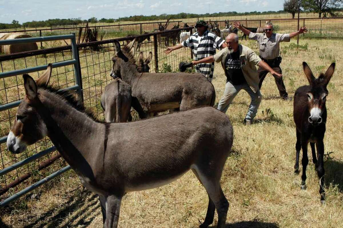 Mark Meyers, back center, moves donkeys towards a trailer with the help of Saul (last name not given), left, a trustee of the Navarro County Jail, and Navarro County Sheriff's Office deputy Charles Paul, right, in Navarro County, Texas on Friday, Sept. 2, 2011. Meyers is the Executive Director of Peaceful Valley Donkey Rescue. 41 donkeys in all were picked up from the Navarro County Sheriff's Office by Peaceful Valley Donkey Rescue.