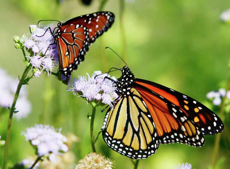 An adult monarch butterfly, right, probes for nectar on a Gregg's mistflower. The smaller queen butterfly, left, mimics the monarchs' coloring to fool predators into thinking that it, like its larger cousin, is also toxic. (SCOTT GAULIN : THE DAILY TELEGRAM | ASSOCIATED PRESS) Photo: Scott Gaulin / Temple Daily Telegram