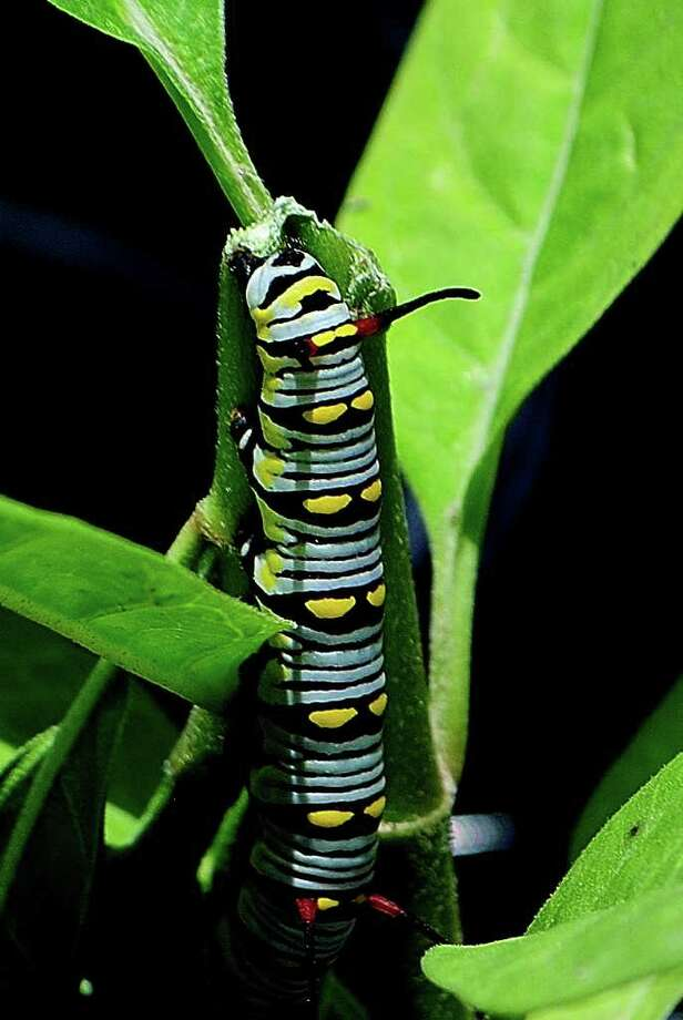 NATIONAL BUTTERFLY CENTER CHOICE: Queen caterpillar on a milkweed plant.