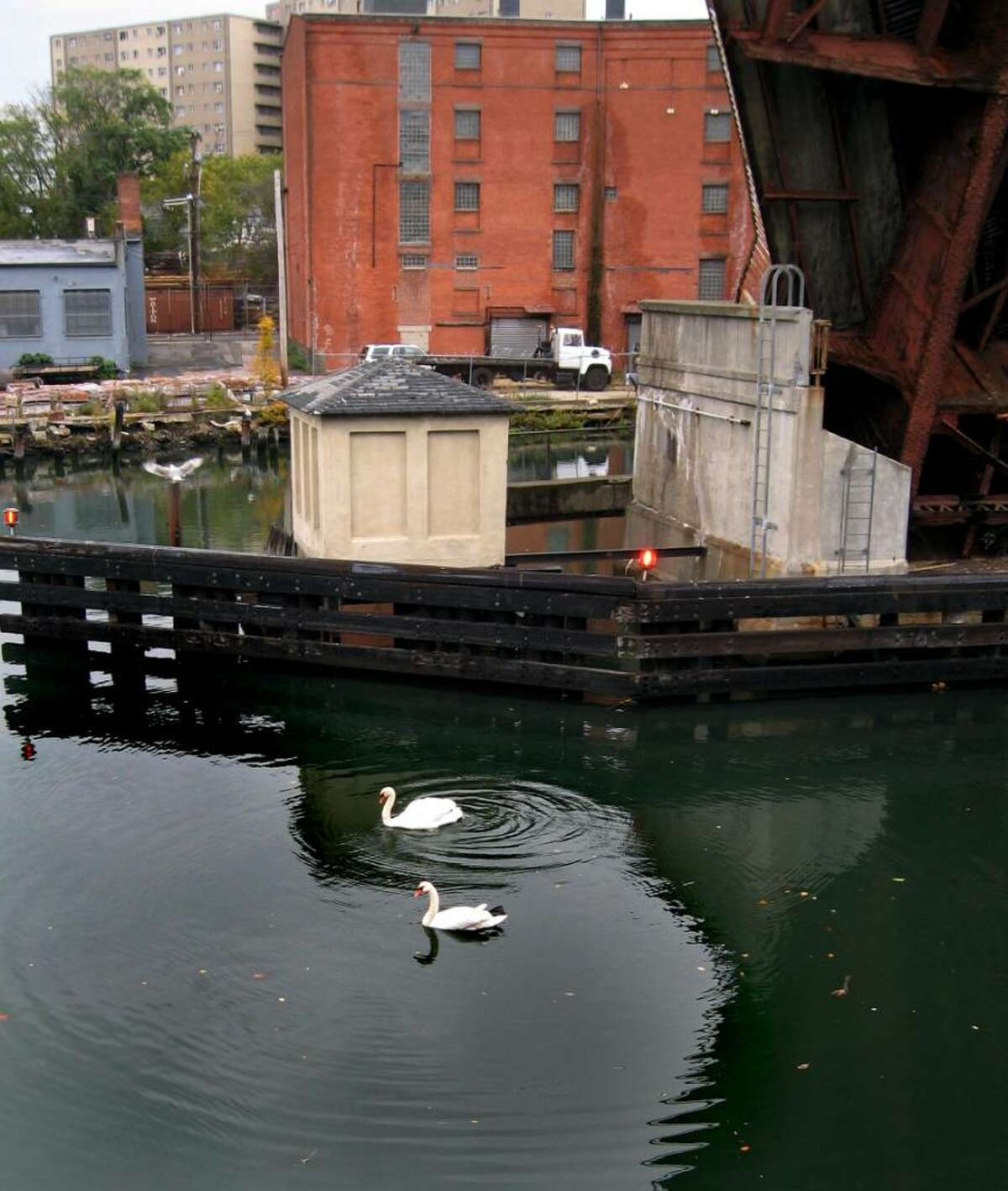 A pair of mute swans have taken up residence on the Pequonnock River under Bridgeport's decrepit Congress Street Bridge.