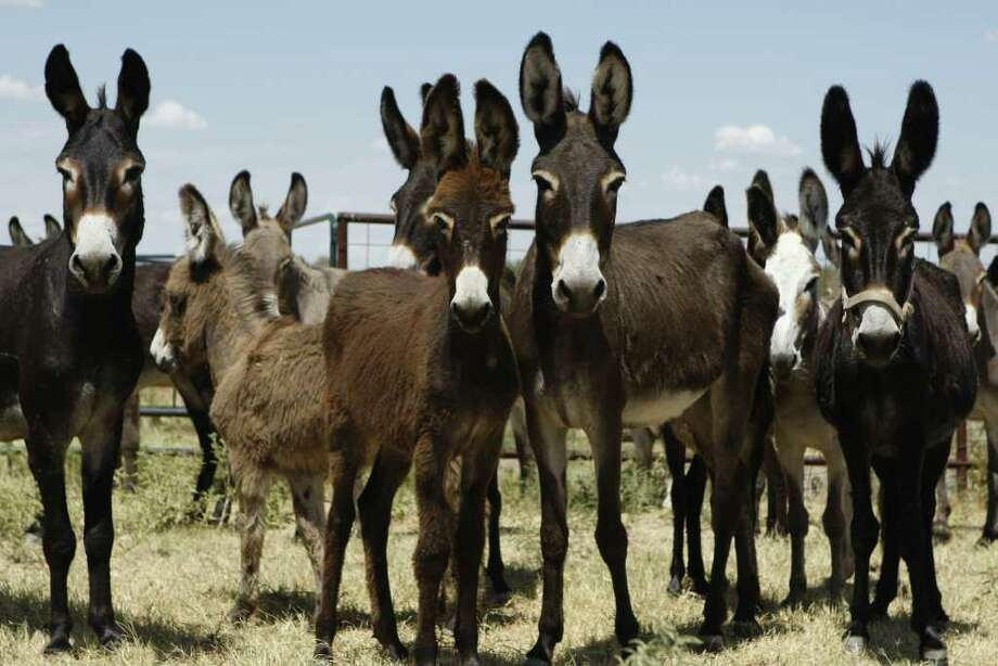 Donkeys on a farm owned by the Navarro County Sheriff's Office in Navarro County. Photo: KEVIN MARTIN, San Antonio Express-News / SAN ANTONIO EXPRESS-NEWS
