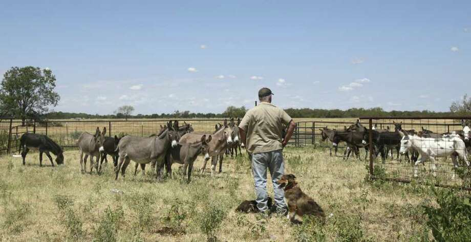 Mark Meyers, Executive Director of Peaceful Valley Donkey Rescue, keeps an eye on the wayward donkeys before they were loaded into a trailer in Navarro County. At Meyers' feet are two of his donkey herding dogs, Butchie, front, and Big Time, on ground. Photo: KEVIN MARTIN, San Antonio Express-News / SAN ANTONIO EXPRESS-NEWS