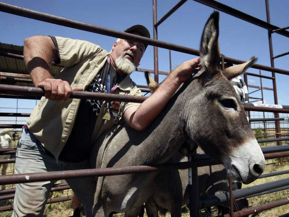 Mark Meyers, Executive Director of Peaceful Valley Donkey Rescue, guides an abandoned donkey to a trailer in Navarro County where his group came to collect 41 donkeys from the Navarro County Sheriff's Office. Photo: KEVIN MARTIN, San Antonio Express-News / SAN ANTONIO EXPRESS-NEWS