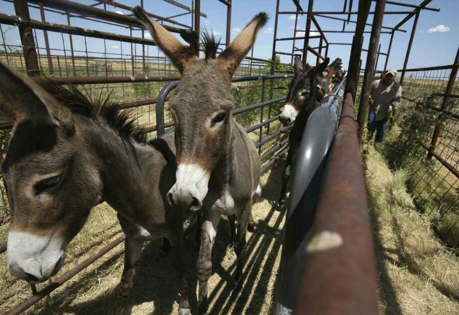 Donkeys are picked up in Navarro County by Peaceful Valley Donkey Rescue. Photo: KEVIN MARTIN, San Antonio Express-News / SAN ANTONIO EXPRESS-NEWS