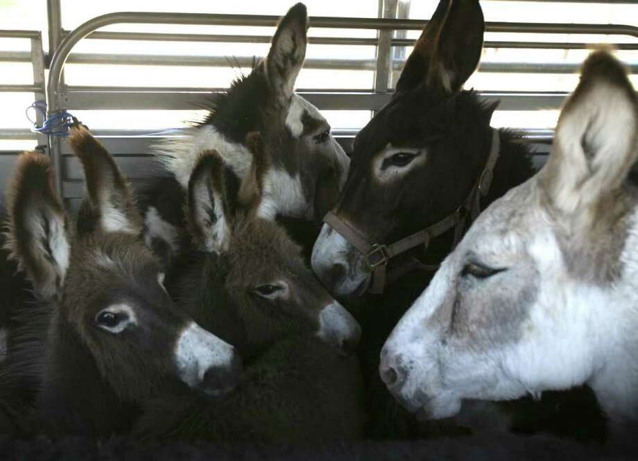 Donkeys after being loaded in a trailer in Navarro County. The donkeys in all were picked up from the Navarro County Sheriff's Office by Peaceful Valley Donkey Rescue. Photo: KEVIN MARTIN, San Antonio Express-News / SAN ANTONIO EXPRESS-NEWS