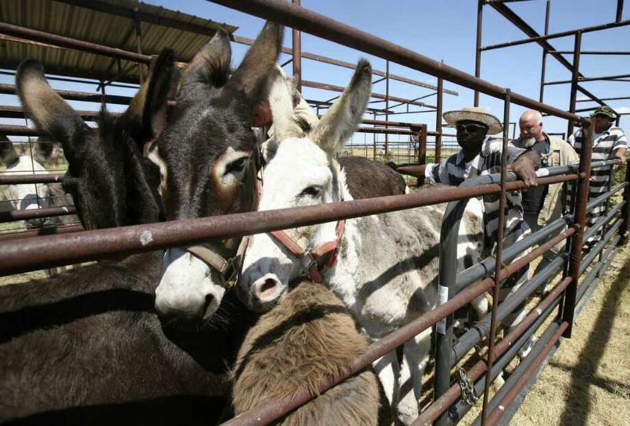 A trustee of the Navarro County Jail in Navarro County helps to load 41 donkeys into a trailer for Peaceful Valley Donkey Rescue. Photo: KEVIN MARTIN, San Antonio Express-News / SAN ANTONIO EXPRESS-NEWS