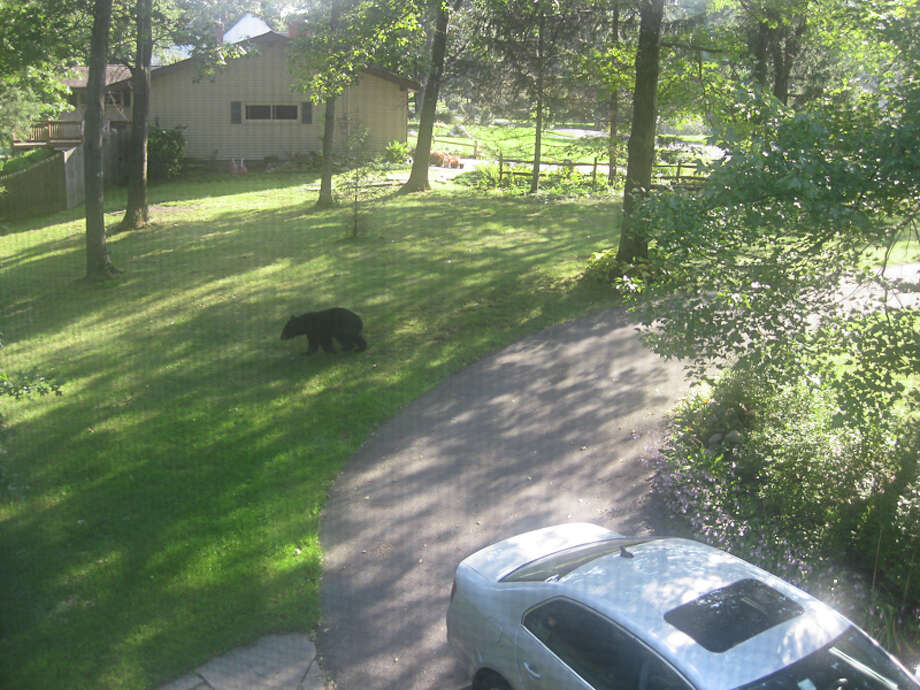 Neighbors near Teliska Avenue and Eastview Terrace in North Greenbush had an unwelcome visitor on Monday, Sept. 12, 2011, afternoon: a bear that strolled through.  Police said officers responded to the area around 4:20 p.m. on Monday, but by then, the bear had already disappeared into the woods, and there wasn?t much left for them to do. (Jennifer Seaver Photography) / Copyright @Jennifer Seaver