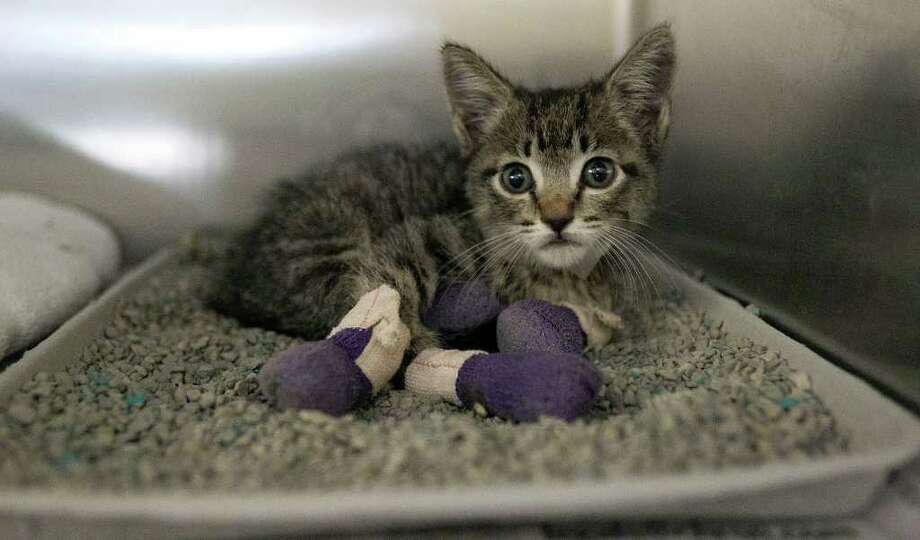 A kitten  with burned paws rests at the Baker Veterinary Clinic in Hempstead. It was rescued near the Hillcrest subdivision in Waller County after it was displaced by the wildfires. Photo: James Nielsen, Chronicle / © 2011 Houston Chronicle